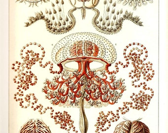 Ernst Haeckel 2010 JELLYFISH CORALS Colored Art Print Vintage Book PLATE 45 and 46 Beautiful Ocean and Sea Life Nature