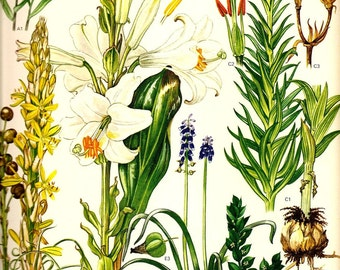 Vintage LILY PRINT 1970 Art Print Mediterranean Wild Flowers Original Book PLATE 41 White Madonna Lily and Yellow Lily