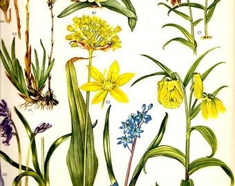 Vintage 1970 Color Art Print Mediterranean Wild Flowers Original Book PLATE 24 Bluebell Two Beautiful Yellow Blue Purple Orange Booms Petals