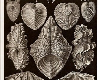 Ernst Haeckel Print SHELLS 2010 Colored Art Print Vintage Book PLATE 55 56 Gorgeous Shells, Sea and Ocean Life both sides are Very Beautiful