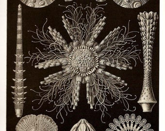 Ernst Haeckel CORALS COLORED Art Print 2010 Book PLATE 59  60 Echinidea Igelsterne Siphonophorae Staatsquallen Black and White Red and Green