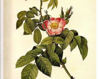 Botanical Print REDOUTE Beautiful ROSES 2007 Color Print  Plate 117 118 Rosa L. Hort Pink Multiflora Seven Sisters Rose Home Room Wall Decor