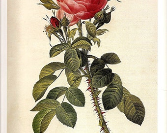 REDOUTE FRENCH ROSES Color Print Plate 145 146 Portland Rose du Roi pink red Rosebuds Wild Hubrid  Alpine Rose in White with Antique Writing