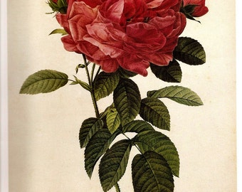 REDOUTE 2007 FRENCH ROSES Color Print Plate 167 and 168 Gorgeous Large Flowered French Rose and Gassland Rose in White