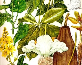 Vintage 1970 BAOBAB Color Art Print Wild Flowers Original Book PLATE 76 Beautiful Large White Baobab Flower and Fruit and Yellow Flowers and Trees