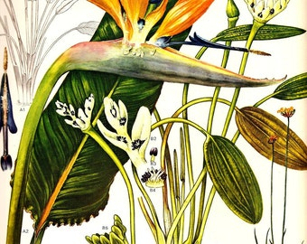 Vintage Botanical Print 1970 BIRD of PARADISE Color Art Wild Flowers Book PLATE 84 Beautiful Large Flower Tropical Plants White Green Leaves