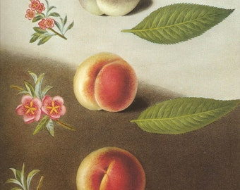 FRUIT PRINT PEACHES 2002 Art Print Original Book Plate 93 Beautiful Peaches with Pink Flowers and Green Leaves