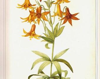 REDOUTE Antique FLOWERS Color Art Print Frameable Botanical Original Book Plate 32 Lilium Beautiful Yellow Golden Orange Tiger Lily