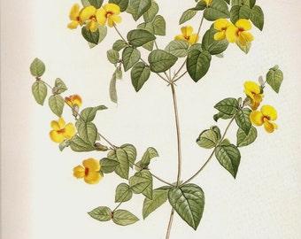REDOUTE Vintage1990 Art Print Botanical Original Book Plate 58 Beautiful Antique Platylobium Formosum Smith Yellow Flowers Petals Chart