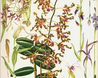 Vintage Flower Print 1970 Art Print Wild Flowers Book PLATE 146 Bear Orchid Flying Ducks Orchid Purple Enamel Leaves Petals Chart Tropical