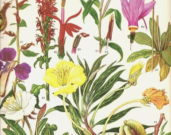 Vintage 1970 Color Art Print Wild Flowers Book PLATE 157 Beautiful Glade Lily Missouri Primrose Pink Red White Flowers Petals Chart