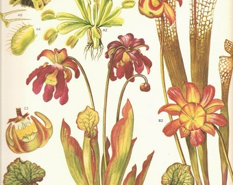 Vintage Botanical Print 1970 Wild Flowers Book PLATE 159 Beautiful Venus Fly-Trap Sidesaddle Plant Devil's Boots Pitcher Plant