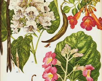 Botanical Print Vintage 1970 Color Art Wild Flowers Original Book PLATE 163 Indian Bean Trumpet Creeper Red Unicorn Plant White Orchid Pink