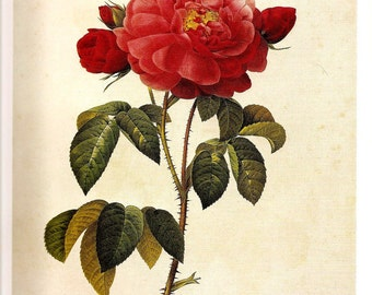 REDOUTE 2007 FRENCH ROSES Color Doublesided Print Plate 155 Rose Duchesse D'Orleans Petals Rusebuds Double Serrated Malmedy-Rose Red Berry