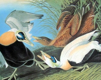 Audubon Birds Print Vintage 1979 Art Print Collectable Book PLATE 124 Common Eider Beautiful Bird to Frame Wall Decor