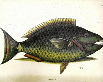 Vintage FISH PRINT Flying Gurnard 1990 Color Art Original Book Plate 14 Antique Painted Picture Wall Hanging Interior Room Decoration