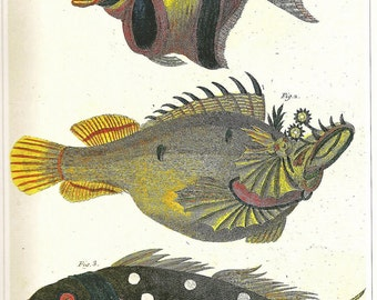 Vintage FISH PRINT Mirror Carp 1990 Art Book Plate 20 Antique Painted in 1785 Exotic Whimsical Fish to Frame Wall Hanging Picture