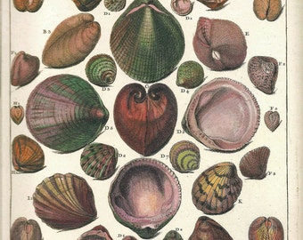 SHELLS Print Frameable Art 2009 Original Book Plate 152 Beautiful Shells French Antique Splendid Hand-Colored Ocean Marine Sea Life