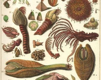 SEA SHELLS URCHINS Print Art 2009 Book Plate 194 Beautiful Antique French Marine Nature Molluscs Sea Urchins and Crustaceans Sea Life