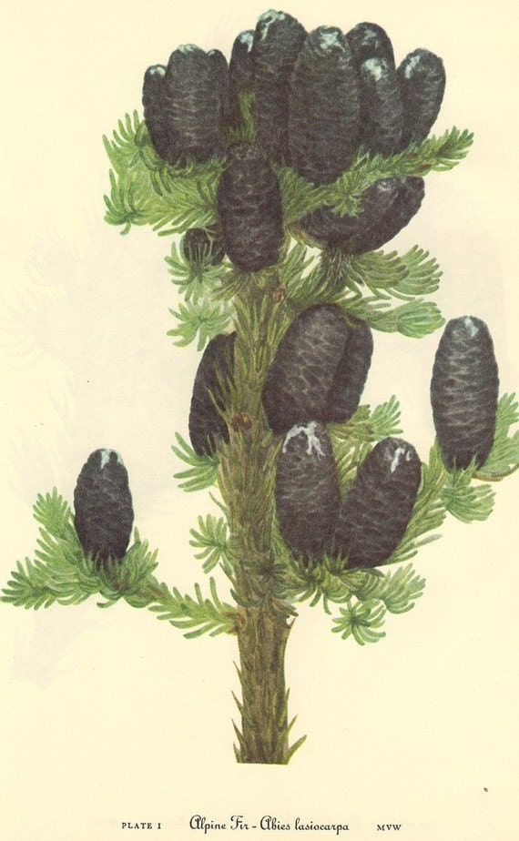 Vintage Pinecone Print 1968 Bookplate PLATE 1 Color Print Wild Flowers of America Engelmann Spruce and Alpine Fir