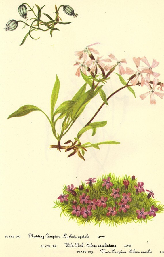 Vintage 1968 Color Print Wild Flowers of America Book PLATE 101 102 103 104 Spring Beauty and Nodding Campion Wild Pink Mass Campion