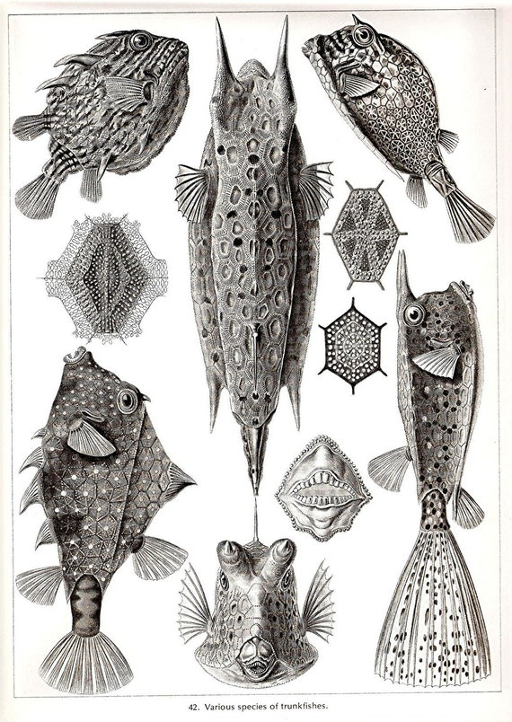 Ernst Haeckel Art Print Trunkfish Blowfish Collectable Frameable Vintage 1974 Gorgeous Book PLATE 41 and 42 Trunkfishes and Radiolaria