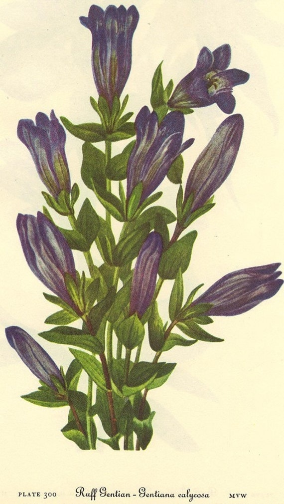 Vintage 1968 BERRY Color Print Wild Flowers of America Book PLATE 299 300 Ruff Gentian and Bottle Gentian Soap Wort Blue Bell Flower