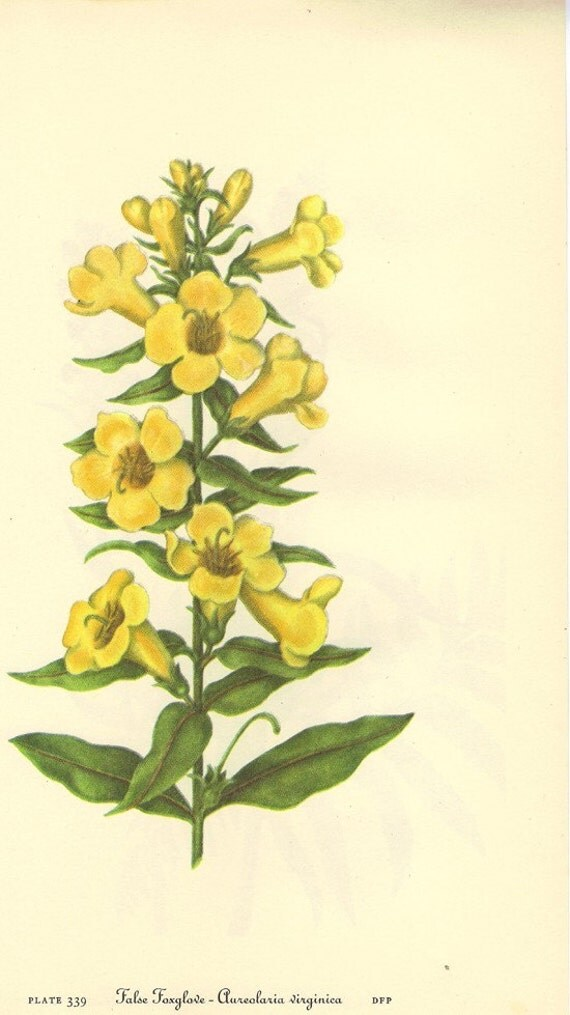 Vintage 1968 Color Print Wild Flowers of America Book PLATE 339 340 Red Helmet and False Foxglove