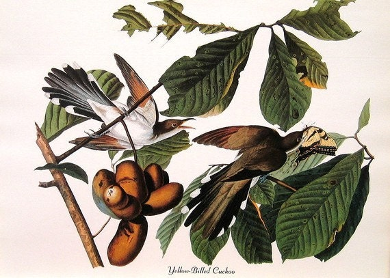 Audubon Bird Print Vintage 1979 Art Print Collectable Book PLATE 70 Yellow Billed Cuckoo Green Tree and Beautiful Butterfly
