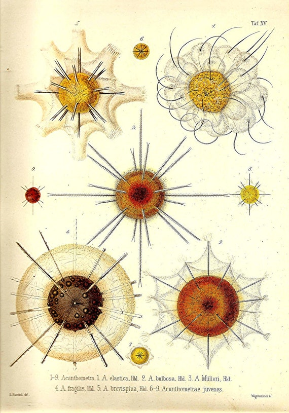 OCEAN Print Ernst HaeckelLithograph Art Beautiful Colored Frameable Collectable Book PLATE 15 Ocean Sea Corals Ivory SIlver Yellow Orange