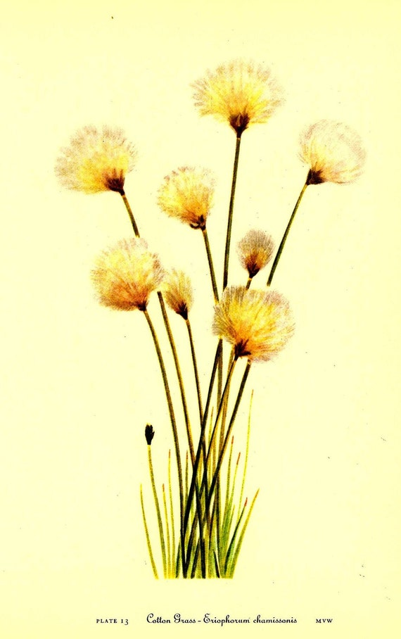 Botanical Print Vintage 1968 Color Wild Flowers of America Book PLATE 13 and 14 Cotton Grass ad Golden Sedge