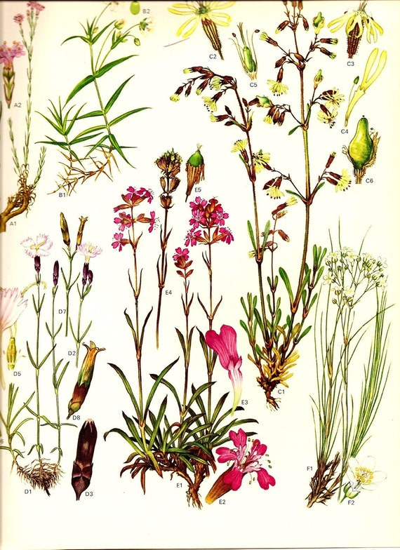 Vintage 1970 Color Art Print Wild Flowers Book PLATE 13 Tunic Flower, Nottingham Catchfly, Comon Pink, Red Catchfly
