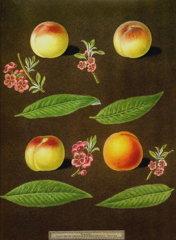 FRUIT PEACH Botanical Print Color Art Book Plate 85 Beautiful Yellow Peaches Pink Tree Flowers and Blooms and Green Leaves Nature