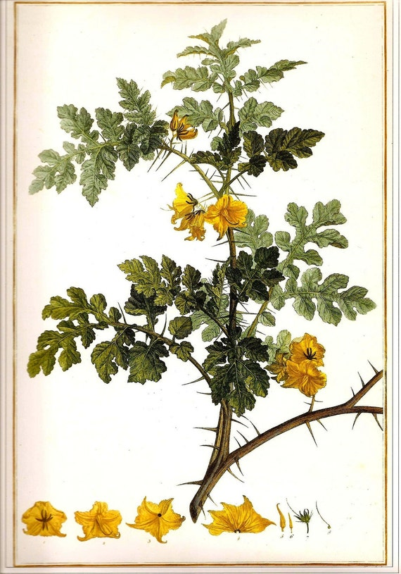 Botanical Print REDOUTE Vintage 1990 FLOWERS Color Art Frameable Original Book Plate 10 Solanum Cornutum L. Beautiful Yellow Flowers