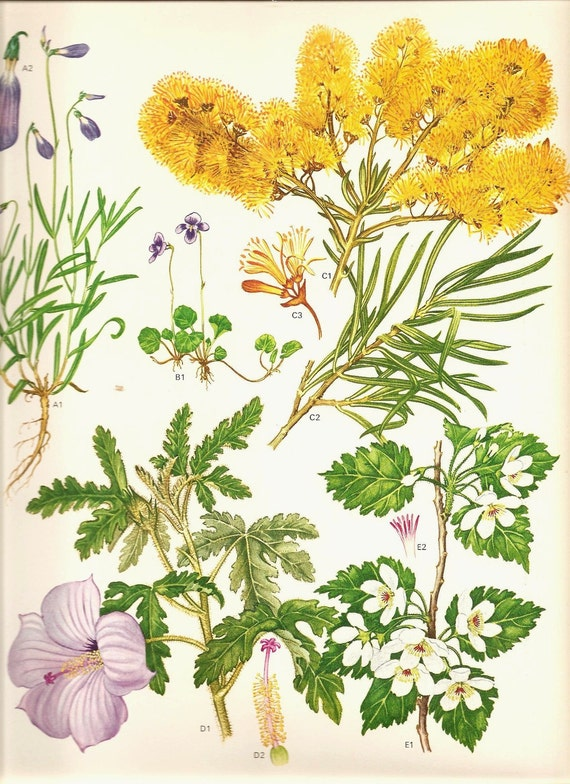 Vintage Botanical Print 136 Beautiful Yellow White Flowers Purple Morning Glory Like Flower with Leaves Roots and Petal Charts