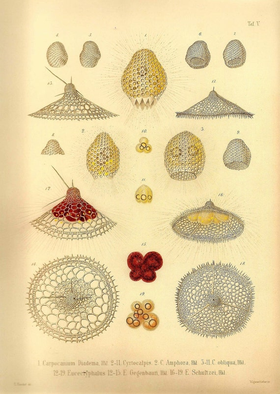 Ernst Haeckel OCEAN Lithograph Art Print Beautiful Colored Frameable Collectable Book PLATE 5 Ocean Sea Life