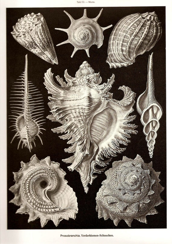 Ernst Haeckel Art Print 2010 Beautiful Book Page PLATE 53 54 Beautiful Ocean Sea Large Shells Black White Whimsical Octopus in Golden Brown