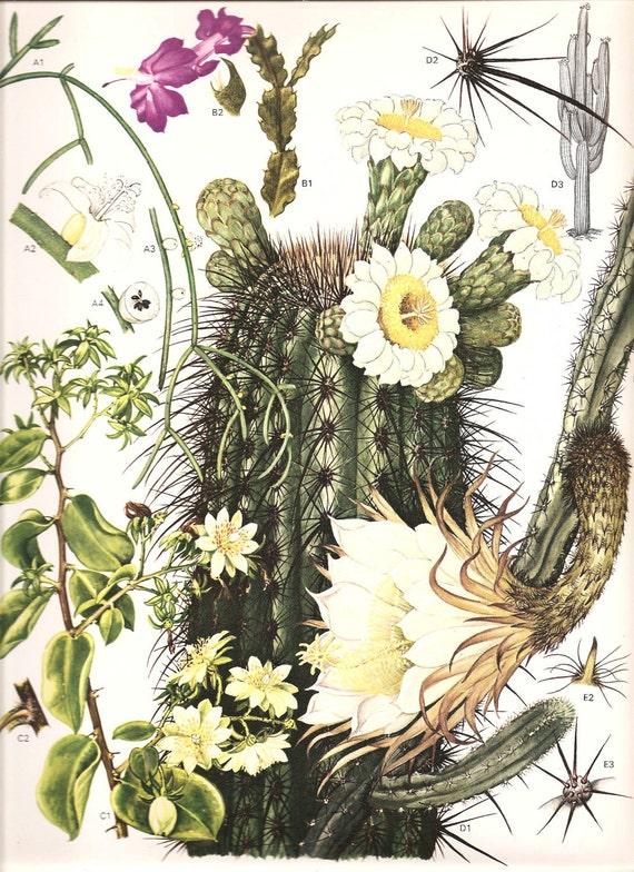 vintage botanical cactus print 1970 color art book plate 176