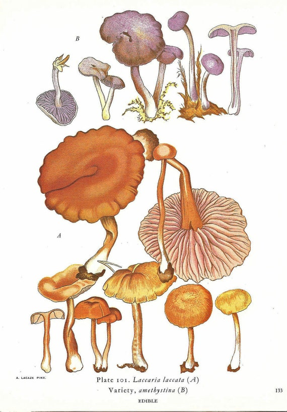 MUSHROOM Print Vintage 1970 Color Doublesided Original Book PLATE 134 135 Marasmius in Purple Golden Brown with Baby Forst Nature Decoration