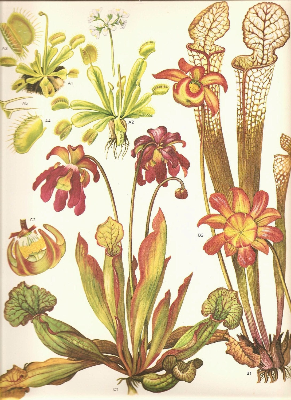Vintage Botanical Print 1970 Wild Flowers Book Plate 159