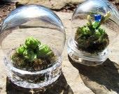 1 left: Small Globe Terrarium with Baby Chicks