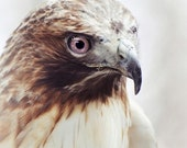 Portrait of a Red Tailed HAWK no.1, an 8x8 print