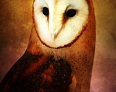Portrait of a BARN OWL no3 -- 8x10 print