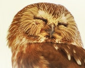 Portrait of a SAW WHET OWL no2 - 8x8 print