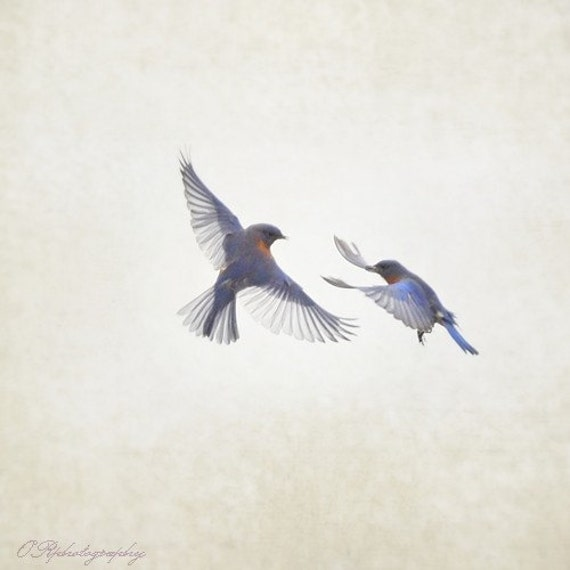 BLUEBIRD LOVE no.5, The Tango -  8x8 print