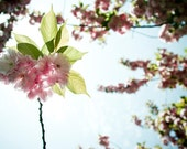 Abeer  - photography print - spring blossoms