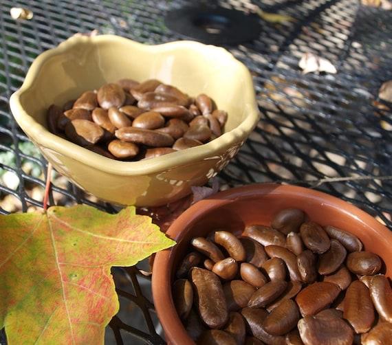 20 Pawpaw Seeds
