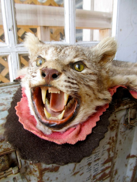 This Old Vintage Taxidermy  Bobcat Took The Long Way Home I'm Afraid