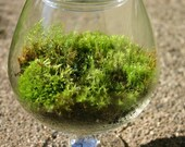 Moss Terrarium - Mothers Day  -  Great as a Gift or for the Home and Office - Table Top Decoration - Center Piece