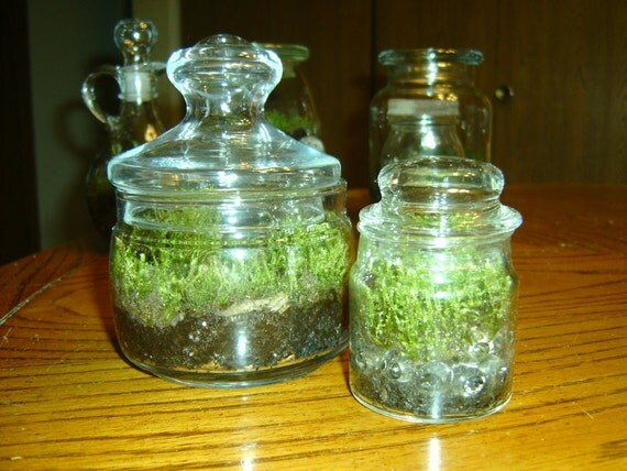 2 Moss Terrariums - Great as a Gift or for the Home and Office - Upcycled/Recycled Glass Jars